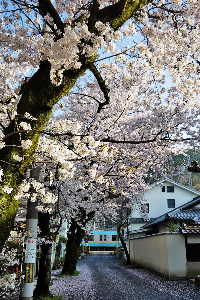桜と京津線の写真素材