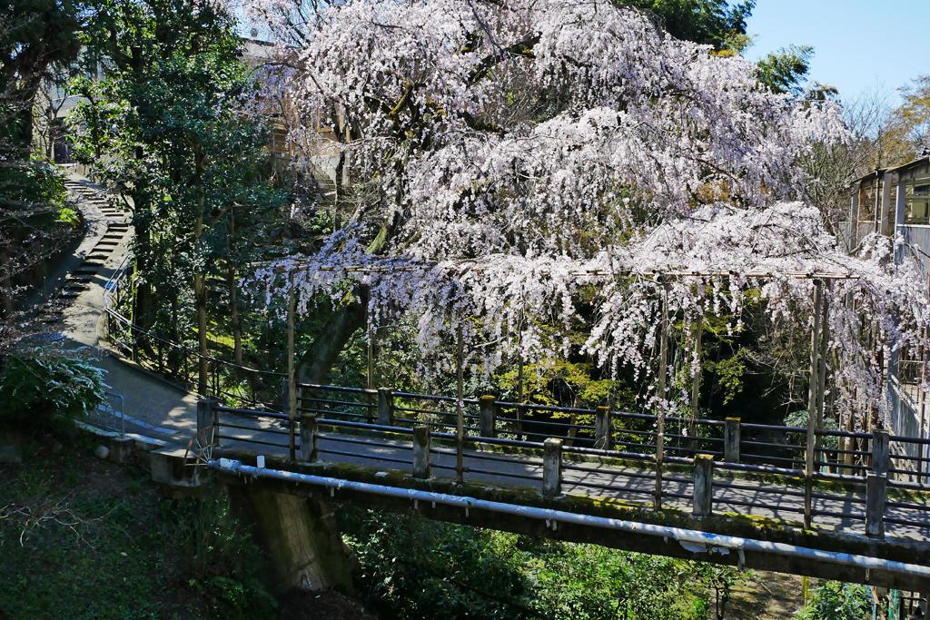 剣神社の近くの枝垂れ桜の写真素材