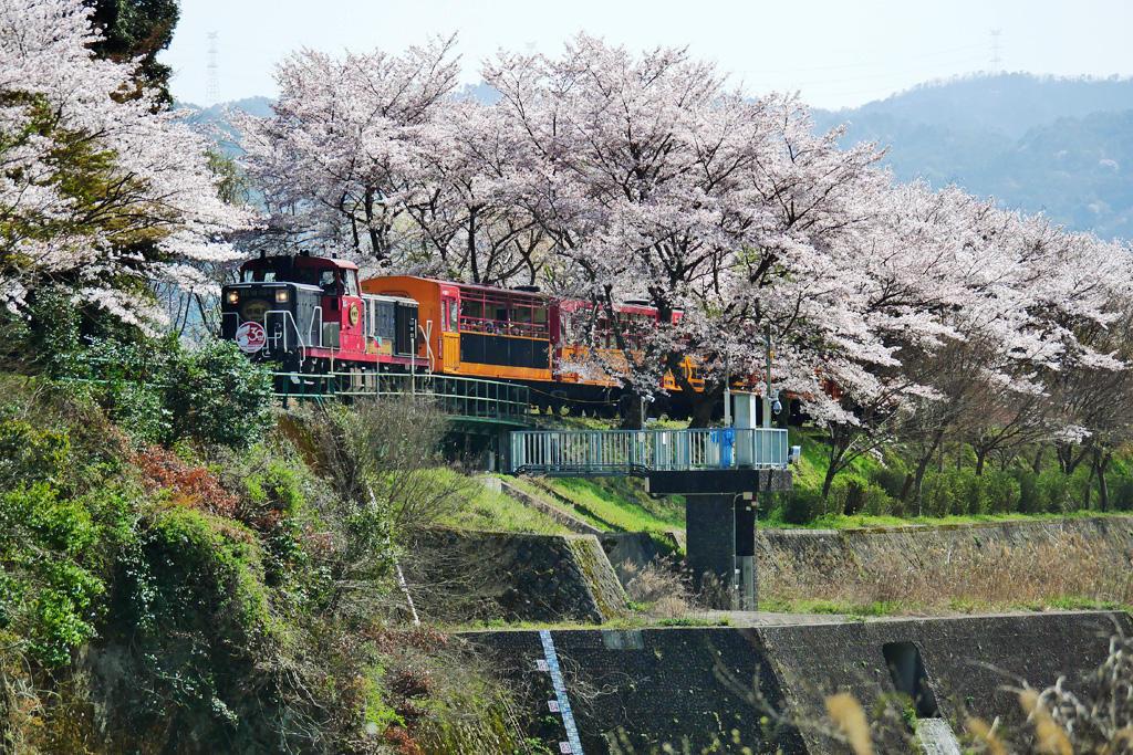 桜 トロッコ亀岡 嵯峨野トロッコ列車の写真素材