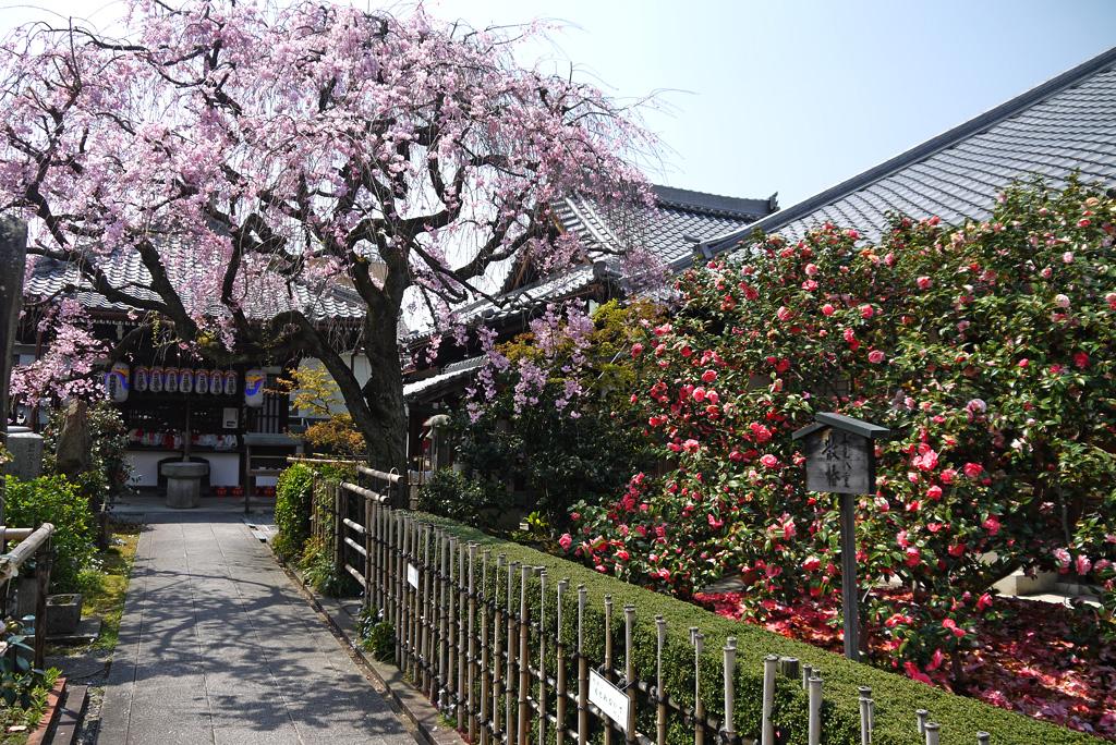 地蔵院椿寺の写真素材