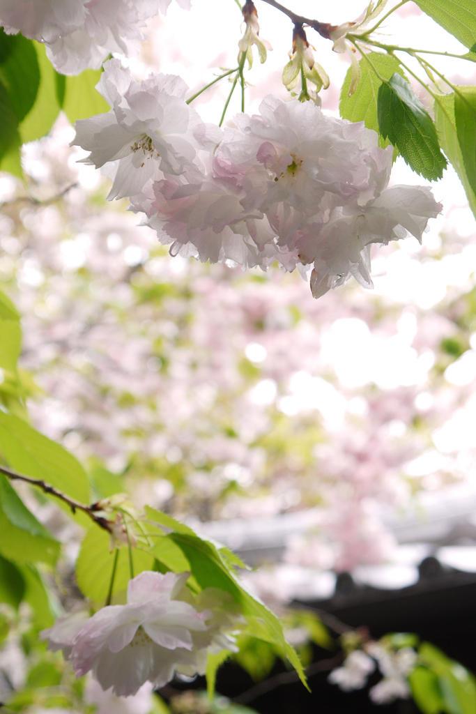 雨宝院の椿写真