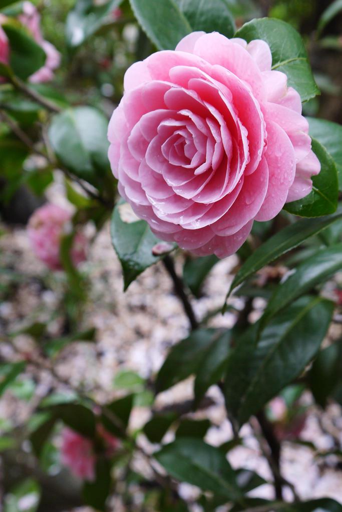 雨宝院の桜写真