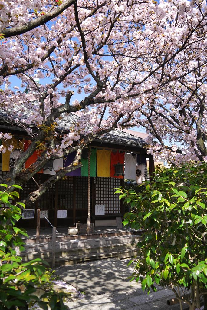 雨宝院の桜の写真素材