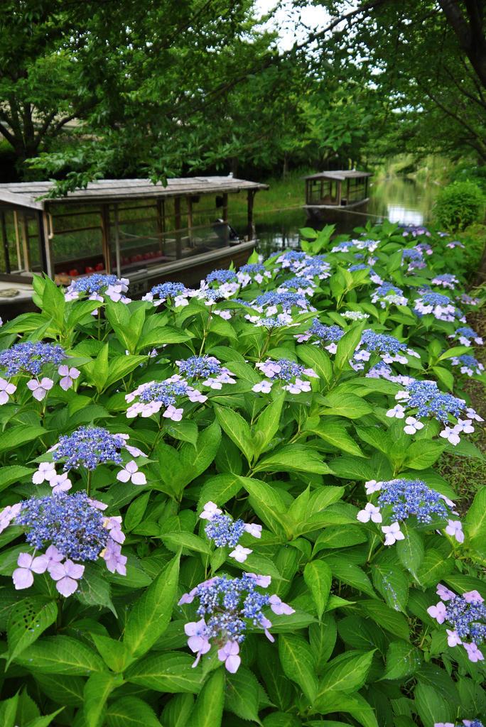 伏見 宇治川派流の紫陽花の写真素材