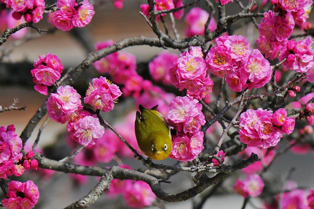 梅とメジロat 京都御所の写真素材