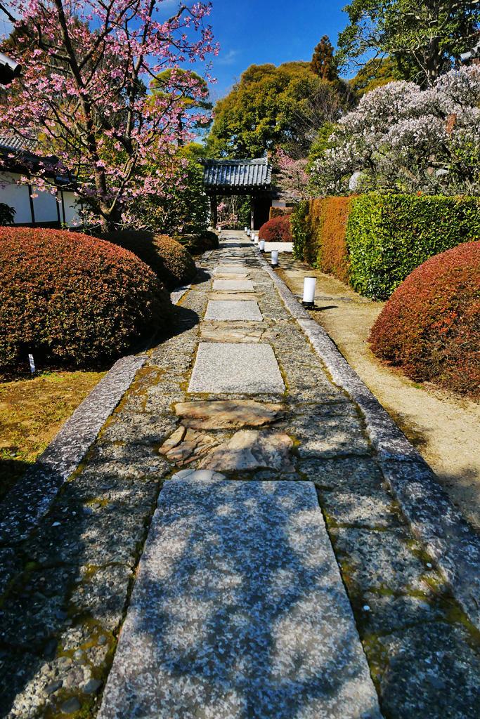 雲龍院の梅と河津桜の写真素材