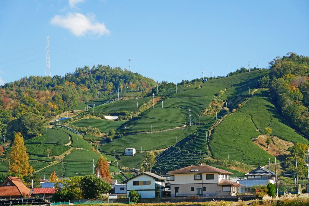 和束町の茶畑の写真素材