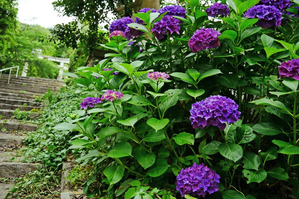 山崎聖天の紫陽花の写真素材
