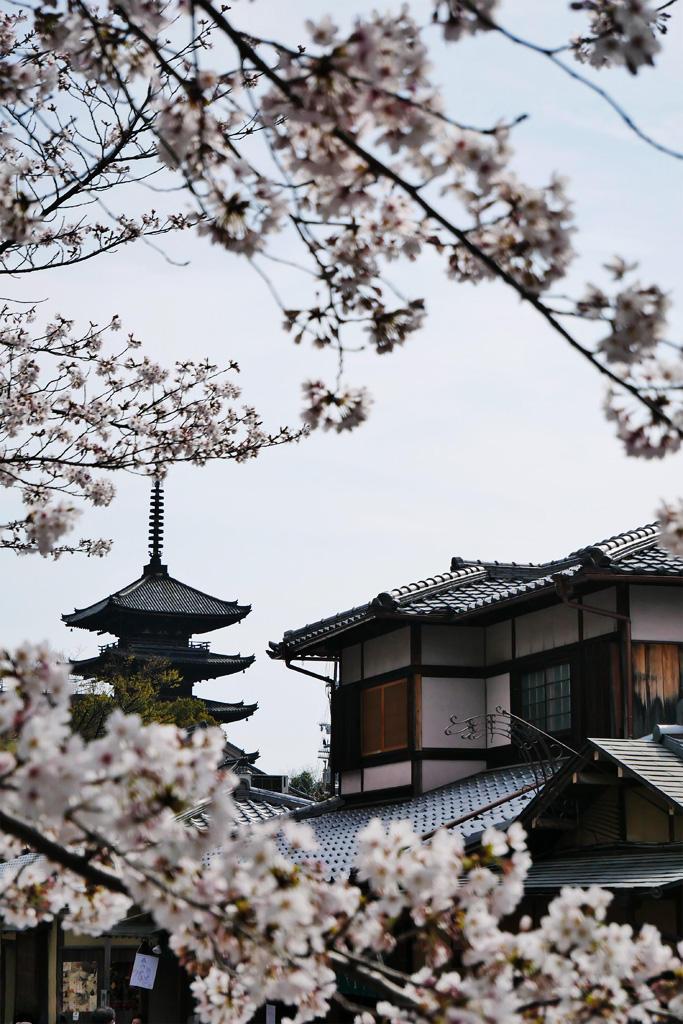 八坂の塔と桜の写真素材