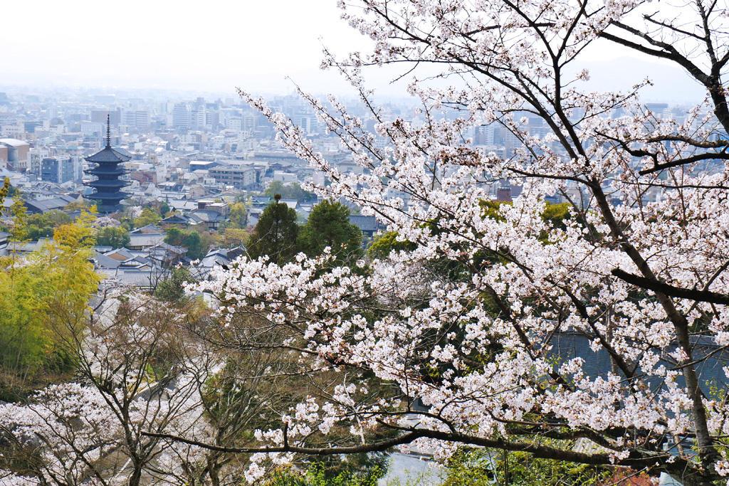 八坂の塔の桜写真素材