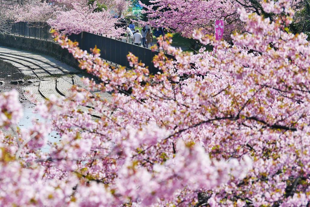 淀水路の桜の写真素材