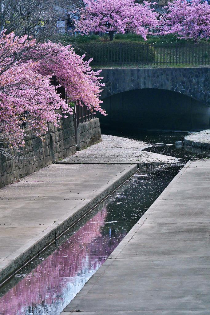 淀水路の河津桜の写真素材