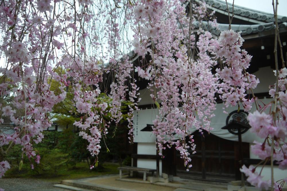 養源院の桜の写真素材