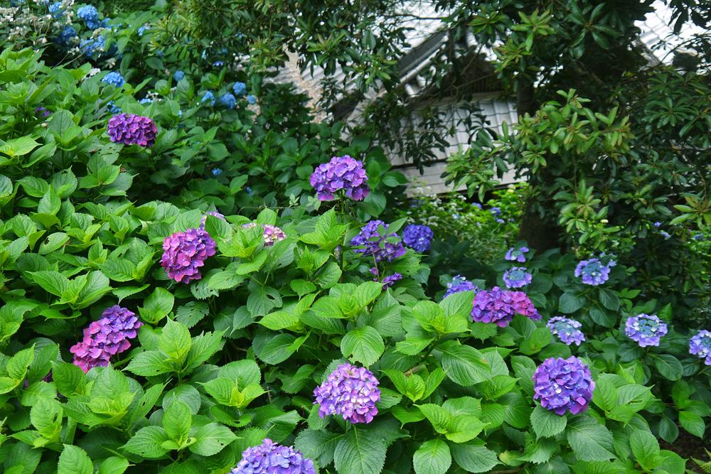 揚谷寺の紫陽花