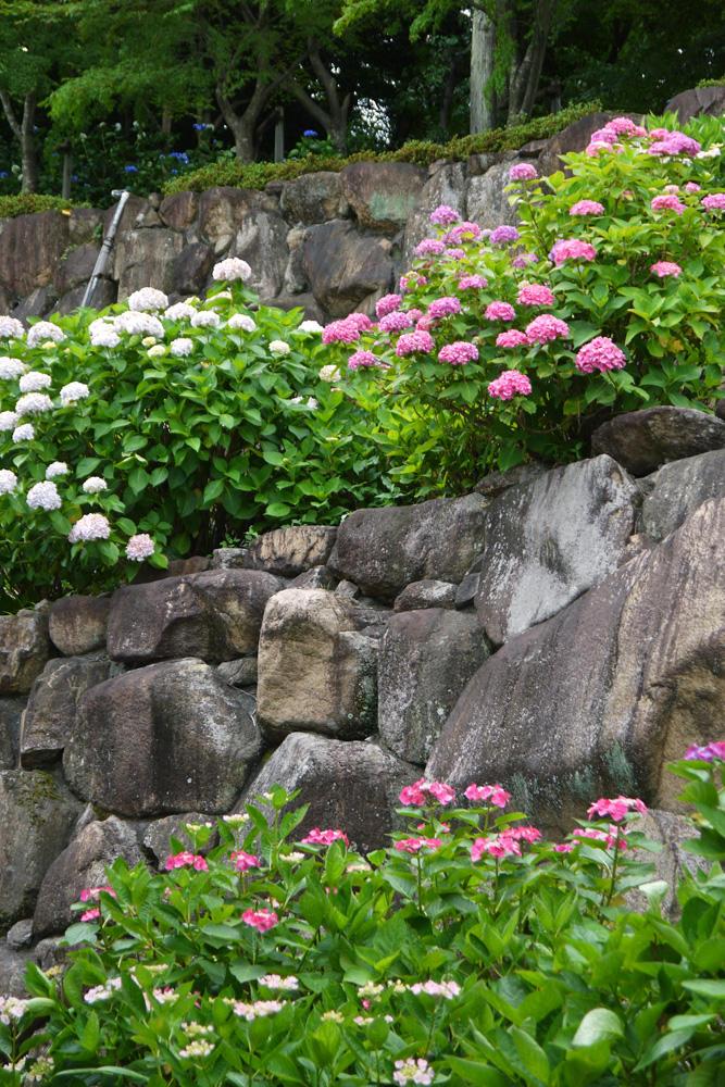 楊谷寺の紫陽花の写真素材