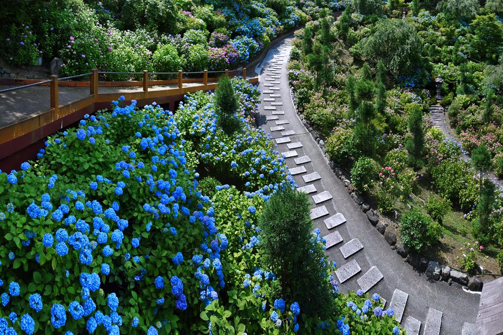 善峯寺の紫陽花の写真素材