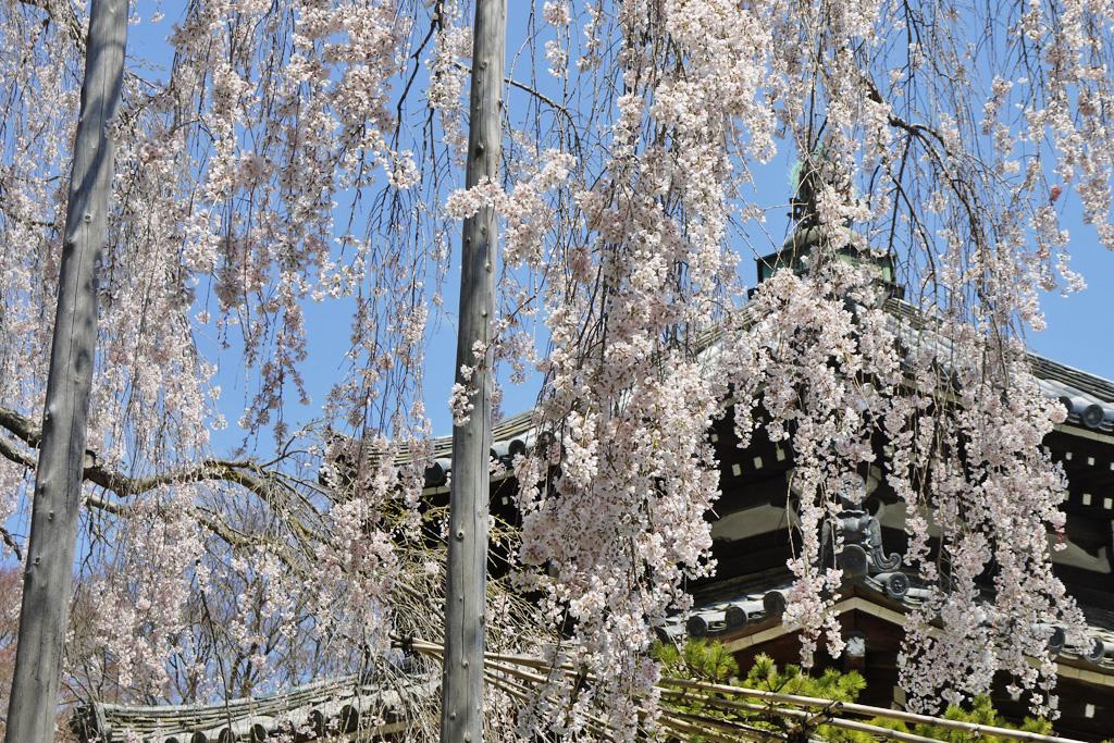 善峯寺の桜の写真素材