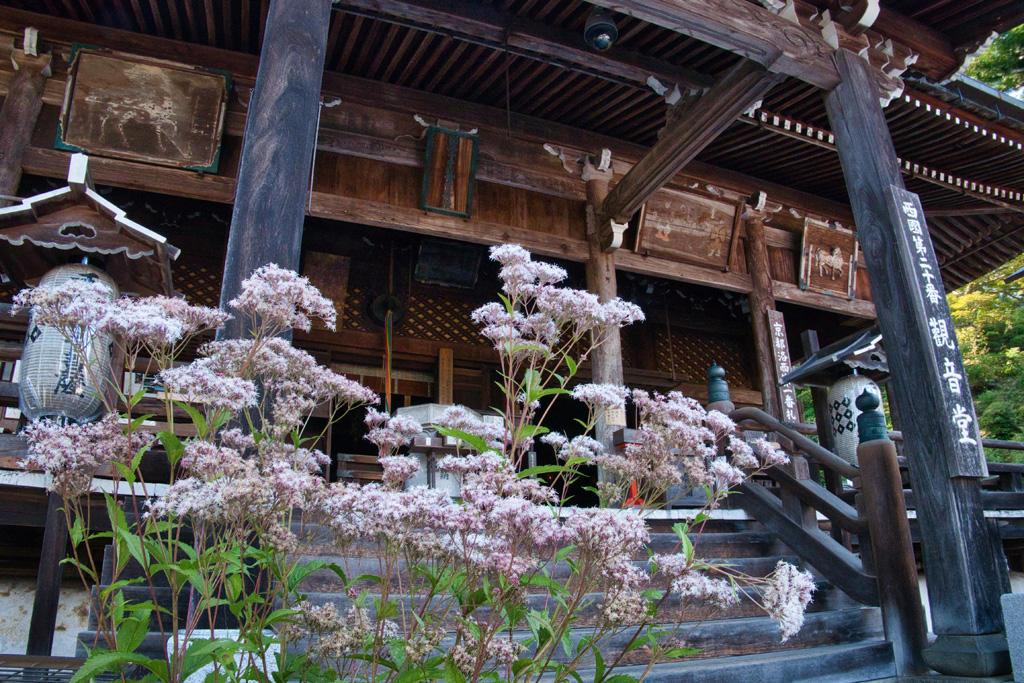 善峯寺 フジバカマの写真素材