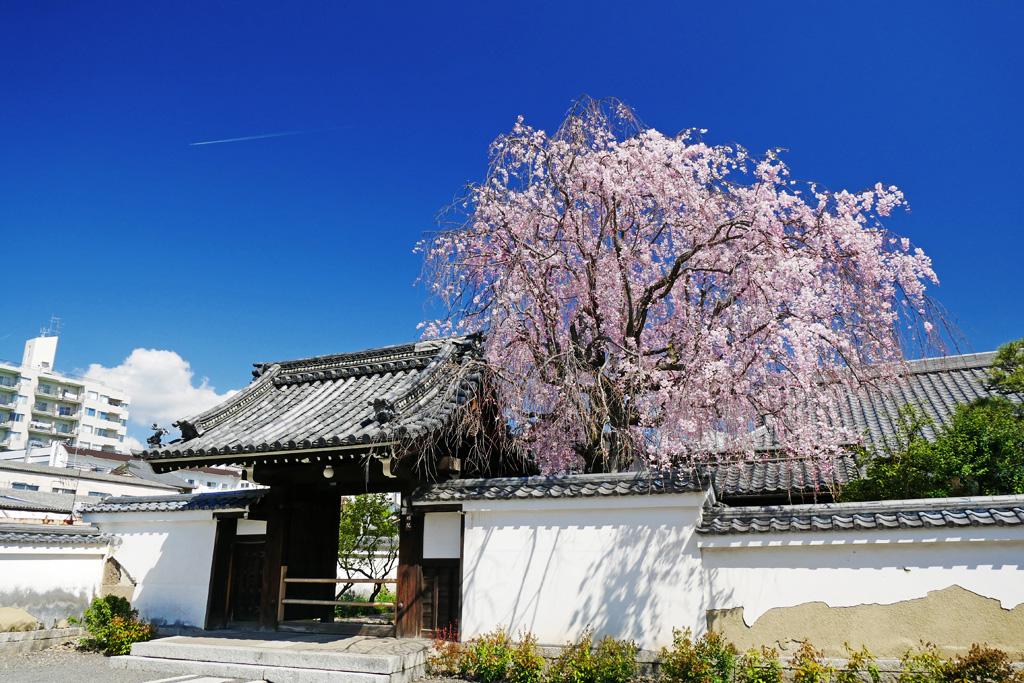 善明院(妙覚寺)の桜の写真素材