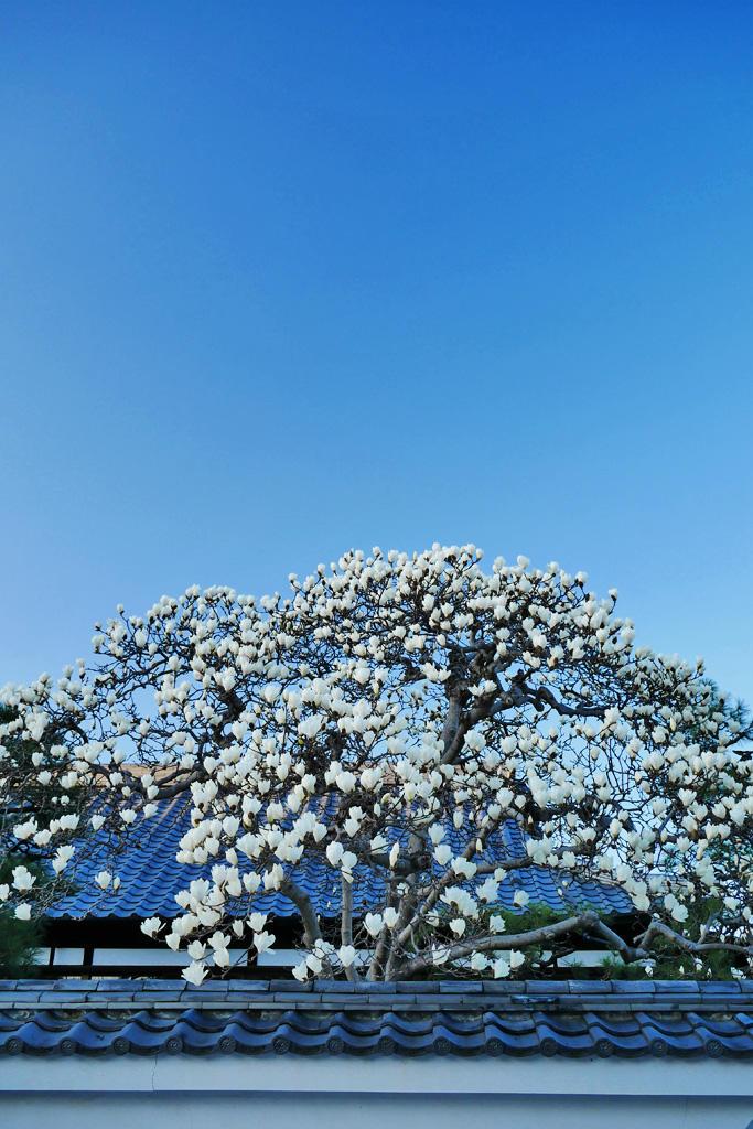 善明院(妙覚寺)のハクモクレンの写真素材