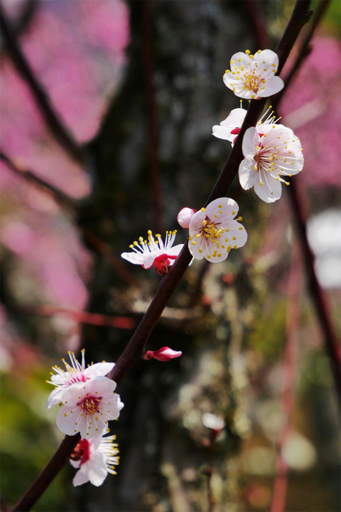 随心院の梅の写真素材