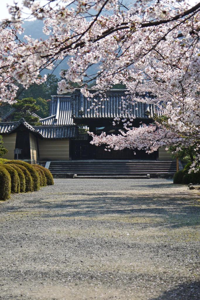 随心院の桜の写真素材
